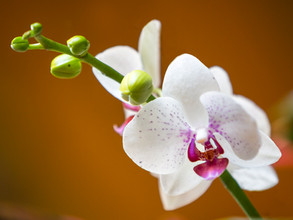 Orchid Love 1
