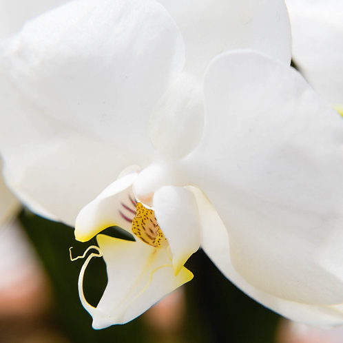 Pure Orchid