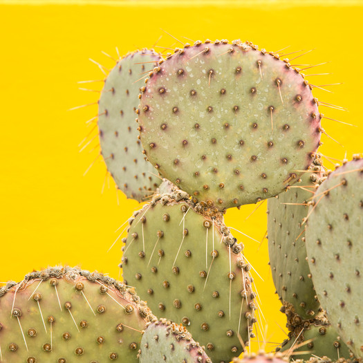 Prickly Pear on Yellow