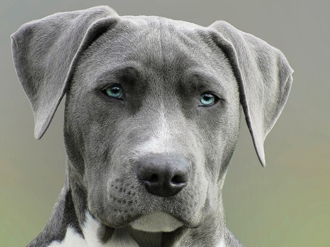 blue-eyed pit bull