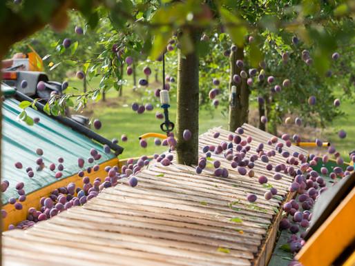 2021, une année mi-figue mi-raisin pour le Pruneau d'Agen