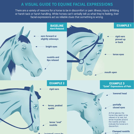 Equine Expressions of Pain