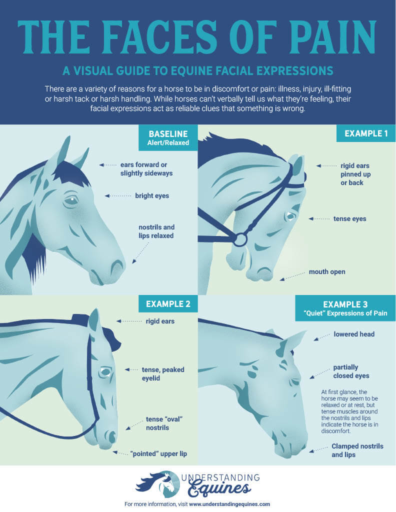 horse infographic the faces of pain
