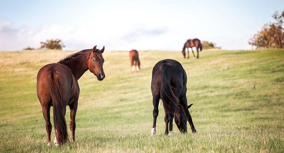horses in field grazing.jpg