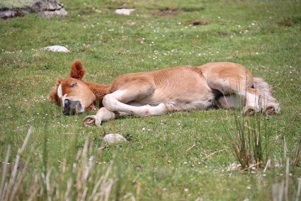 brown foal sleeping in green pasture