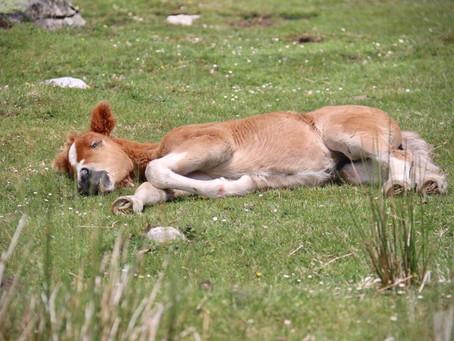 Understanding the Sleep Needs of Horses