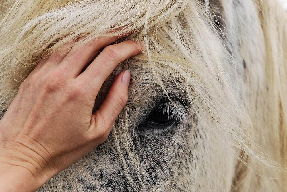 hand touching grey and white horse