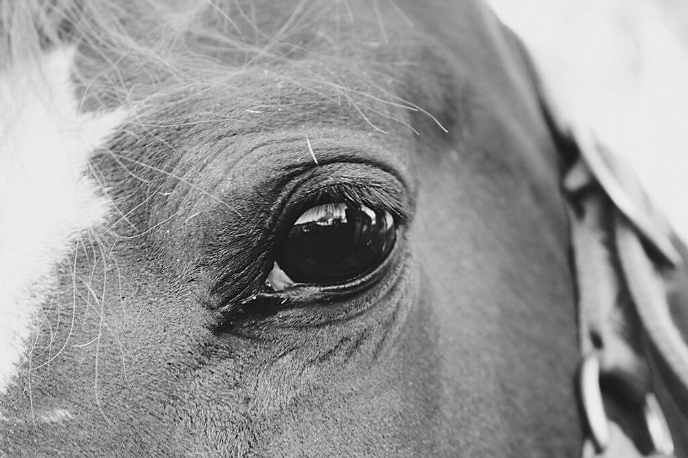 black and white picture close up horse eye