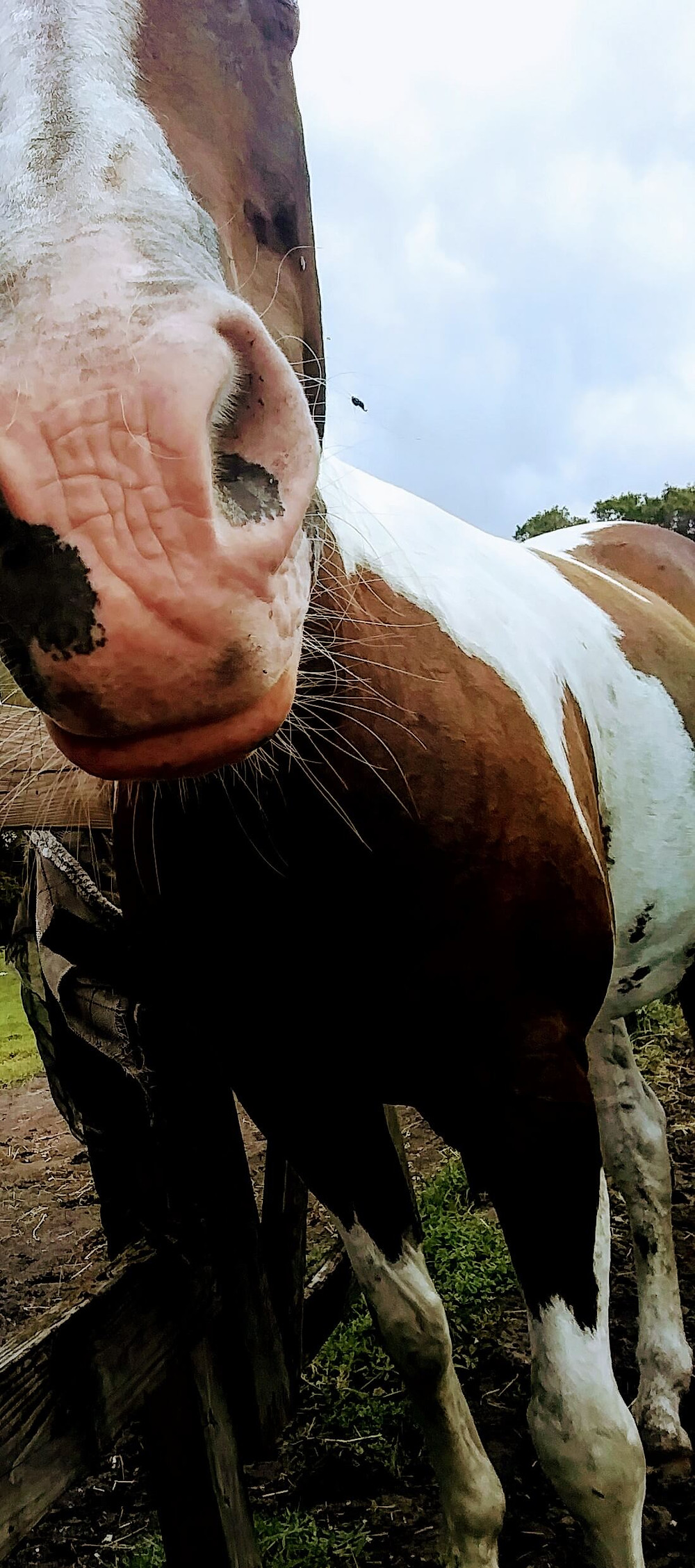 close up of brown white horse with whiskers