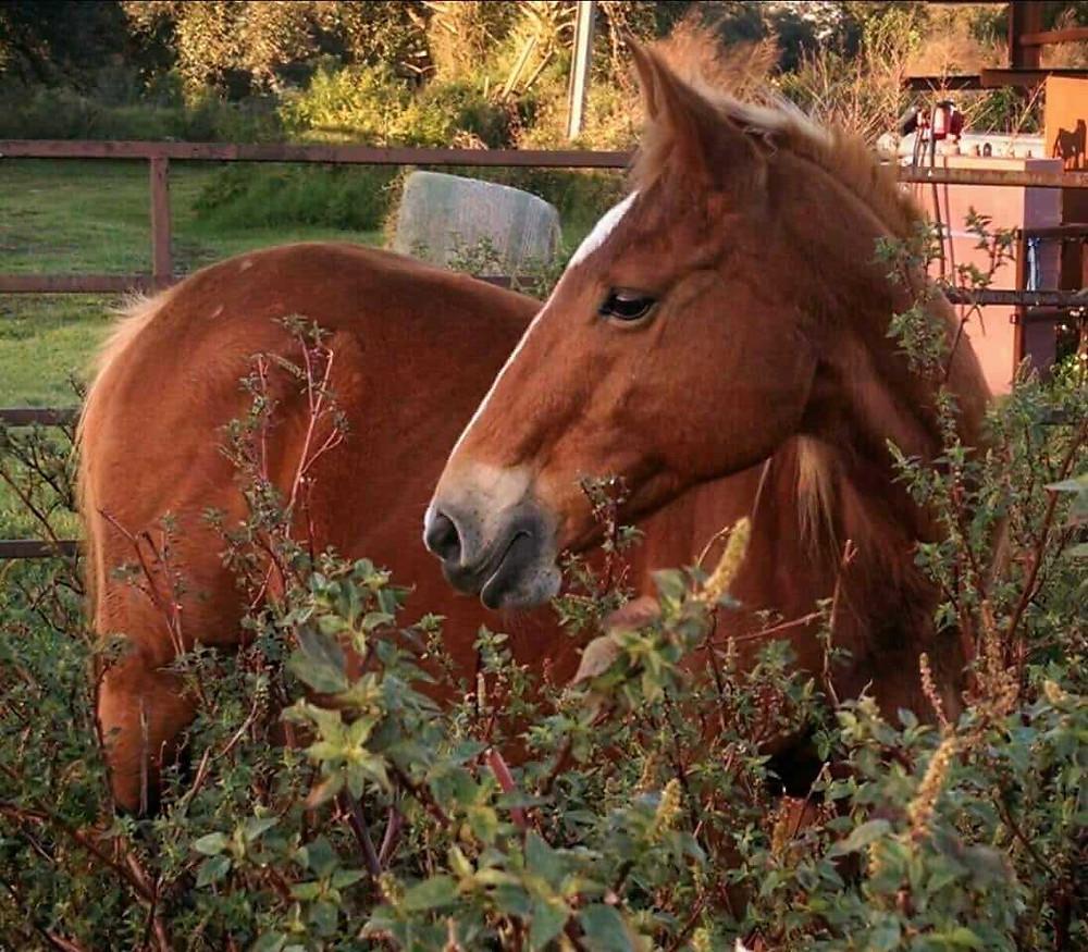 brown horse standing behind green bush