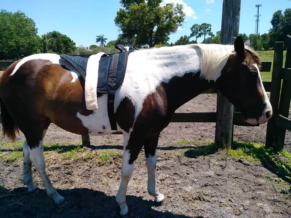 painted horse brown and white with bareback pad
