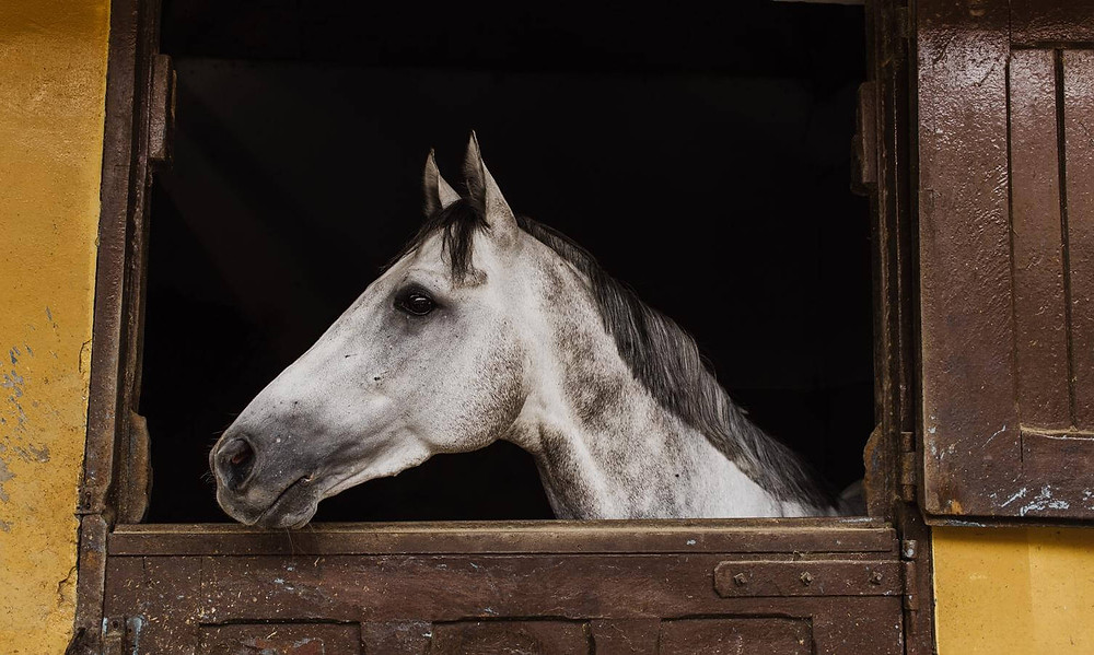white horse looking out of stall