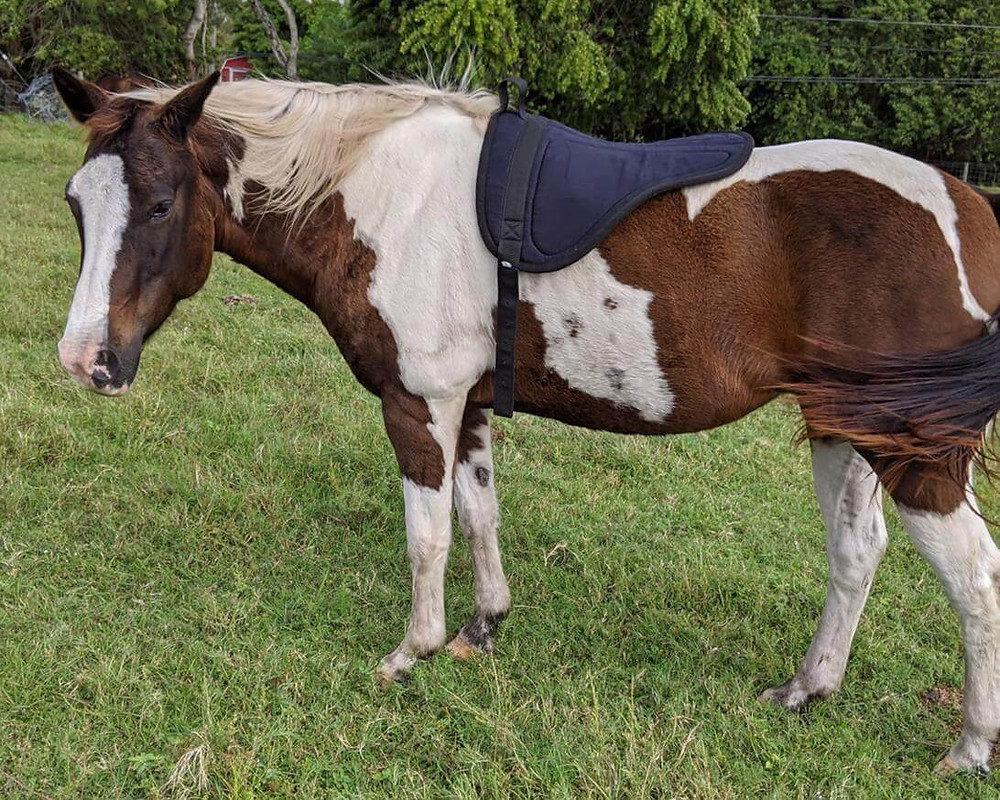 brown and white painted horse with bareback pad