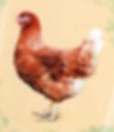 Курица Хайсекс Браун