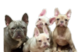 rare liliac french bulldogs