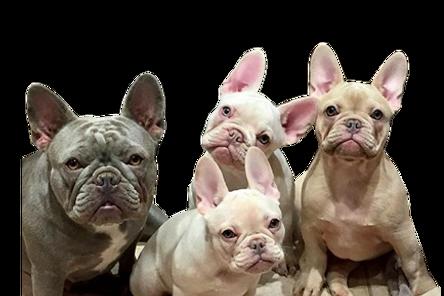 rare liliac french bulldogs