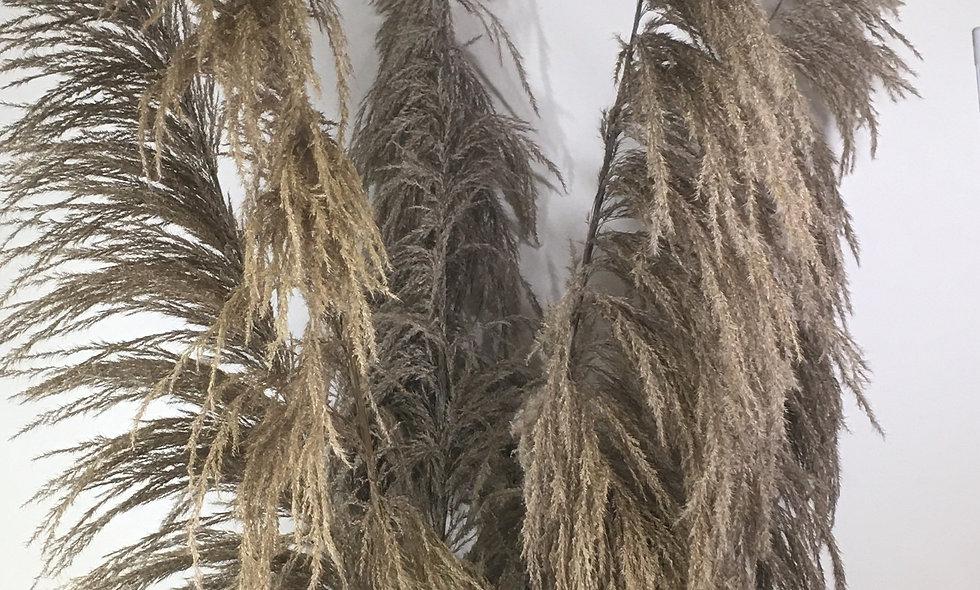 Dried Cortaderia Stem (pampas grass) 140cm