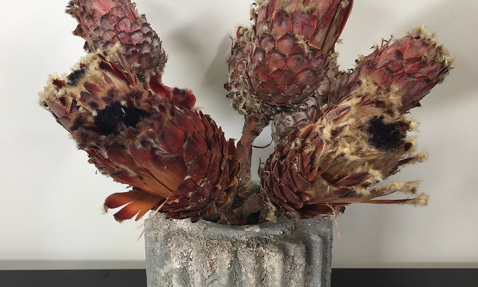 Dried Protea Barbigera Stem