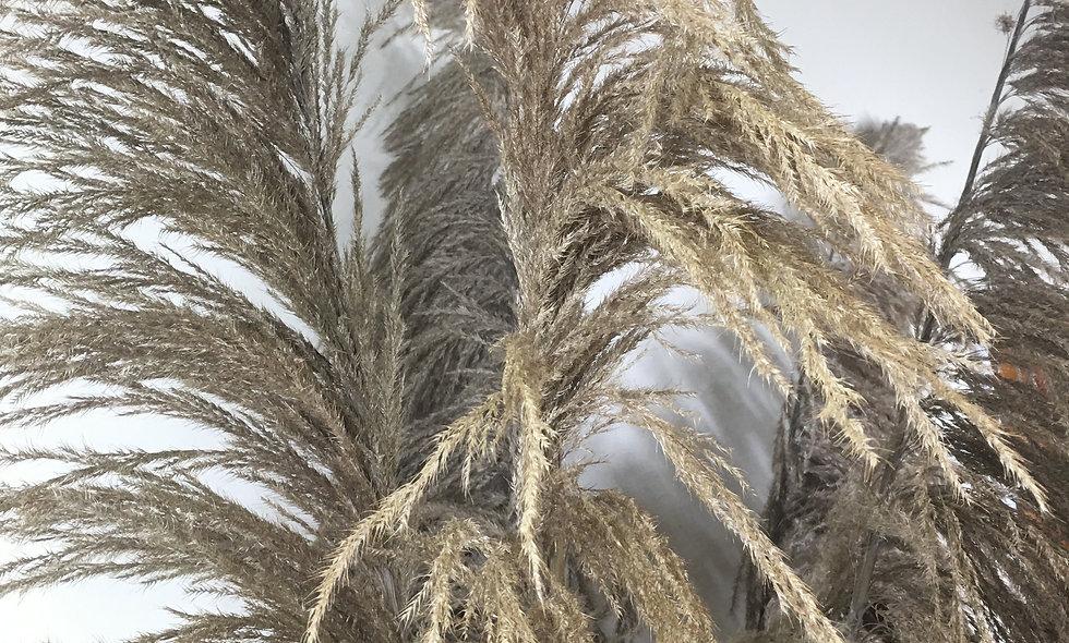 Dried Giant Cortaderia Stem (pampas grass) 250cm