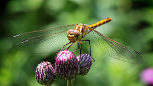 Did you know Dragonflies eat twice their weight in mosquitos and other flying insects?