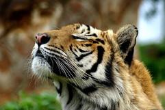 tiger-5400478_1280.jpg