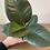 Thumbnail: Ficus Elastca (Rubber Plant)