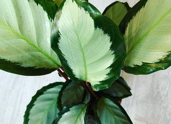 Calathea House Plant (Argentea)