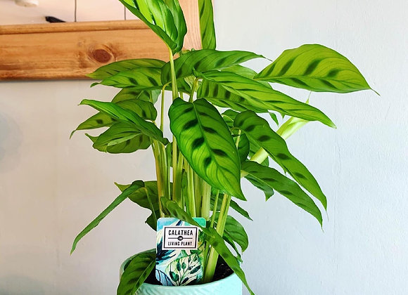 Calathea House Plant (Freddie)