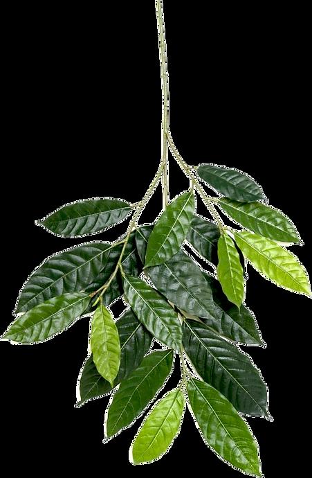 folhas de cacau.png