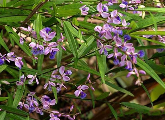 Polygala Root Extract
