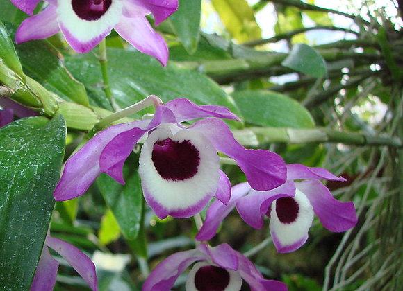 Dendrobium Stem Extract