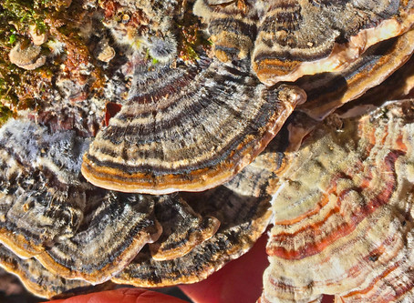 Turkey Tail: Immune Tonic for Our Times