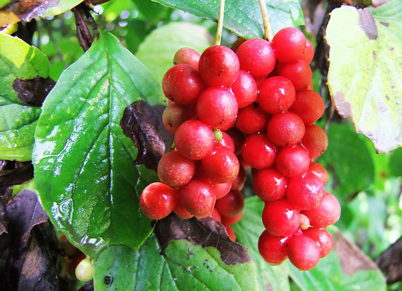 Schisandra Berry Extract