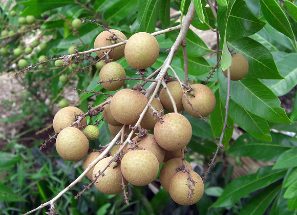 Longan Berry Extract