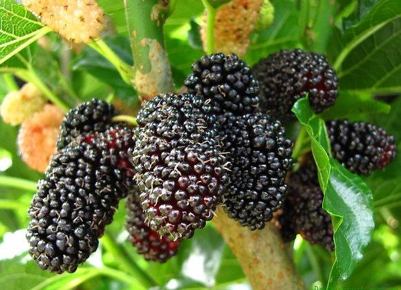 Purple Mulberry Extract