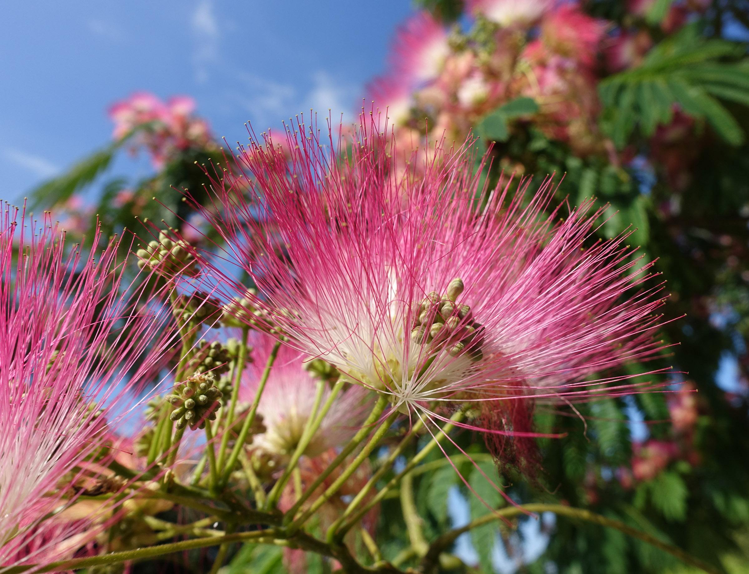 Albizia_flower_wikimedia