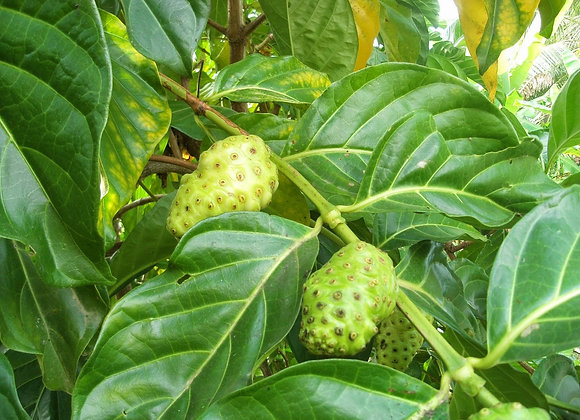 Morinda (Noni Root) Extract