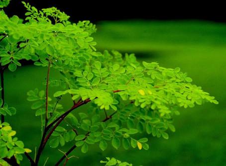Moringa oliefera: The Miracle Tree