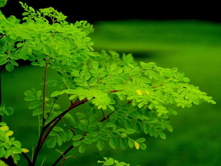 Moringa oliefera: The Miracle Tree