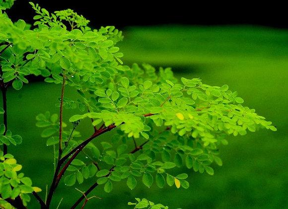 Raw Moringa Leaf Powder 1/2 lb.
