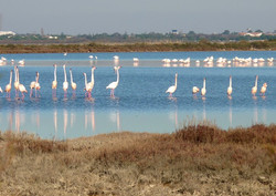 flamants-roses-etangs-herault-le-languedoc