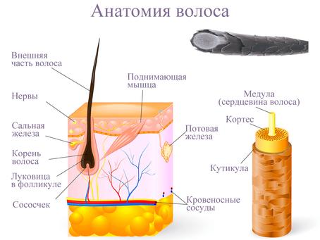 Обзор биологии, структуры и функции волос