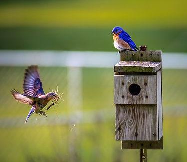 Bird building a nest.jpg