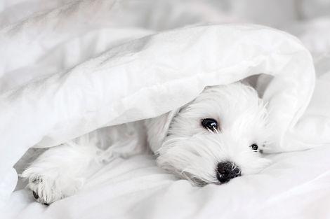 Sleeping white puppy under white blanket