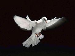 dove-wallpaper-3.jpg