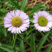 lavender flowers.jpg