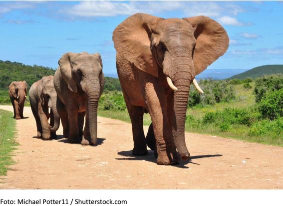 elefantes em linha