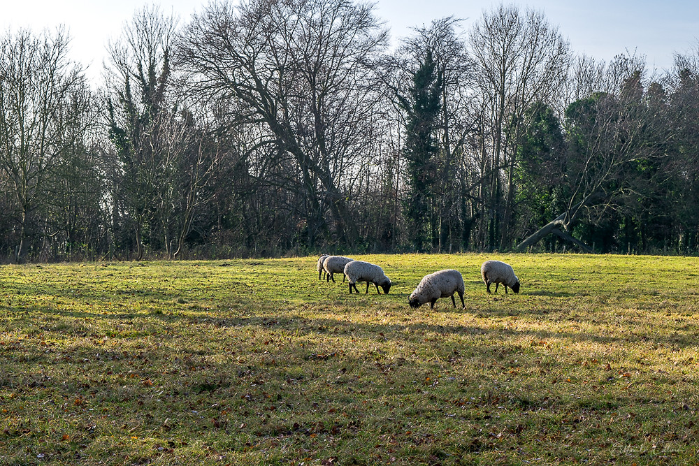 Norfolk black faced sheep graze at Wandlebury. Travel blog. Travel photographer. Roadtrip4charity. Commercial photographer. Wedding photographer. Newborn photographer. Portrait photographer. Business photographer. Family photoshoots. Family photography. Business photographer. Road trip. Elton Cilliers. Portraits in the Park. Creative. Creativity. Marketing. Brand. Personal brand.