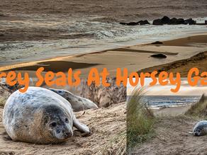 Grey Seals at Horsey Gap, Norfolk, UK