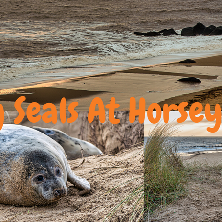 Grey Seals at Horsey Gap, Norfolk, UK